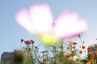 自然,花,秋,花畑,東京,コスモス,花びら,ハート型,ハート,秋桜,コスモス畑,フォトジェニック,浜離宮庭園,インスタ映え