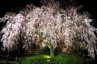 花,春,桜,夜,木,屋外,京都,花見,夜桜,サクラ,樹木,お花見,イベント,枝垂れ桜,桜の木,枝垂れ,春爛漫,さくら,立派,立派な桜