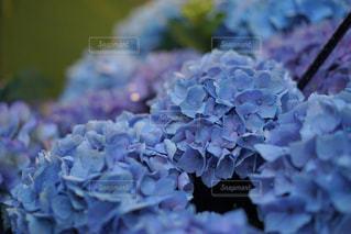 花,雨,あじさい,紫陽花,梅雨,雨の日,アジサイ