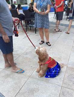 ワンダーウーマンな犬の写真・画像素材[848127]