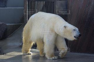 動物,動物園,面白い,白熊,疲労,ホッキョクグマ,夏バテ,熱中症,シロクマ,疲れ,熱中症対策,暑さ対策