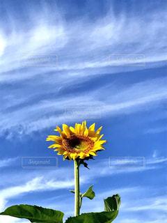 月山高原の向日葵と青空の写真・画像素材[1097663]