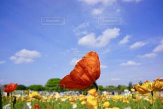 ポピー畑と青空の写真・画像素材[1105926]