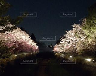 昭和記念公園の期間限定、桜ライトアップの写真・画像素材[1125087]