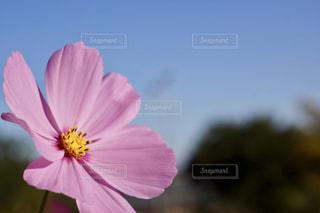 秋桜と青空の写真・画像素材[1131777]