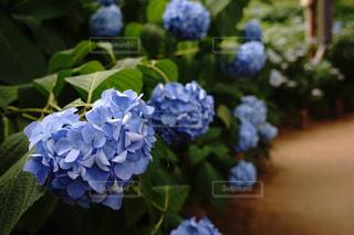 東京,青,紫陽花,梅雨,小径,アジサイ