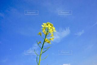 菜の花と青空の写真・画像素材[1375925]