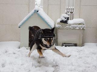雪に夢中になる黒柴の写真・画像素材[973340]