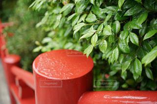 神社境内の紅い手すりと雨上がりの葉です。の写真・画像素材[2144076]