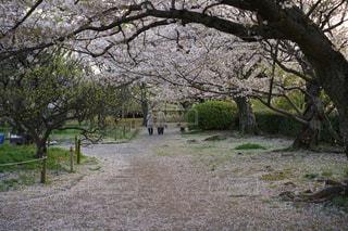 桜の花の下を歩いていたおじいちゃんとおばあちゃん‼︎の写真・画像素材[2172637]