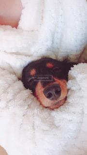 犬,寝顔,可愛い,ダックスフント,抱っこ,お昼寝,イヌ,ダックスフンド