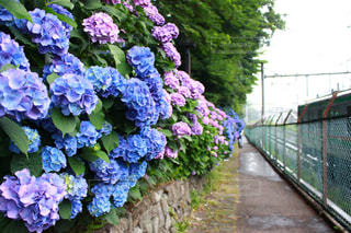 雨の似合う花。の写真・画像素材[1254032]