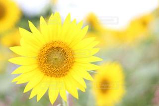 花,夏,植物,ひまわり,かわいい,きれい,綺麗,黄色,鮮やか,向日葵,元気,イエロー,明るい,ひまわり畑,黄,8月,向日葵畑,yellow,ヒマワリ,キレイ,ヒマワリ畑,座間,座間市,座間ひまわり畑