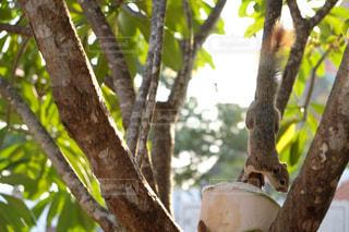 リスとココナッツの写真・画像素材[740279]