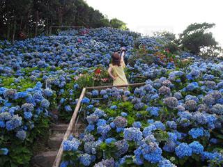 紫陽花の写真・画像素材[747628]
