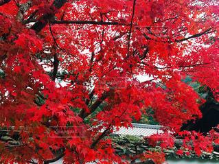 嵐山の紅葉の写真・画像素材[1637227]