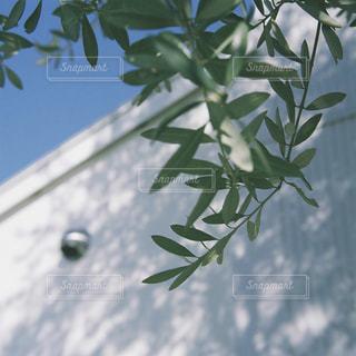 空とオリーブとの写真・画像素材[1258916]