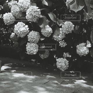 花の黒と白の写真の写真・画像素材[1263081]