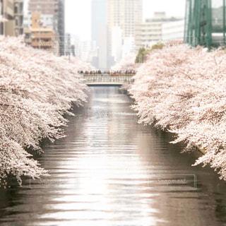 春,桜,目黒