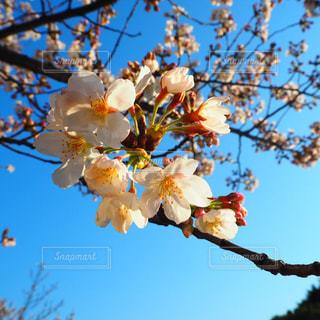 木の花の花瓶の写真・画像素材[1100814]