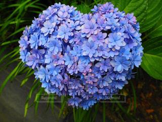 ハート,紫陽花,梅雨