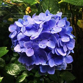 紫陽花,雨上がり,雫,梅雨