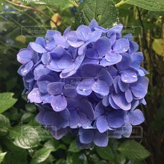 花,雨,紫陽花,雫,しずく,明月院