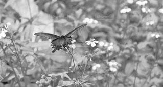 花の黒と白の写真 - No.854535