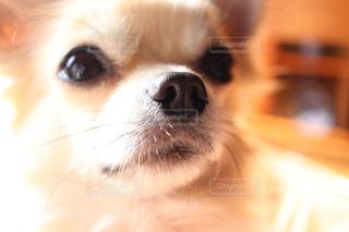 カメラを見て茶色と白犬の写真・画像素材[1184106]