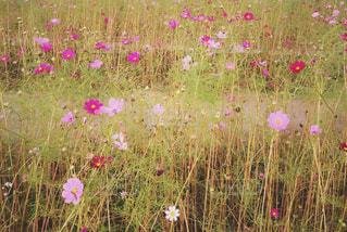 コスモス畑の写真・画像素材[1456591]