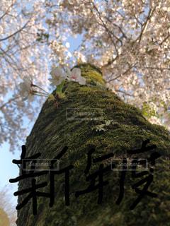 桜,山中渓