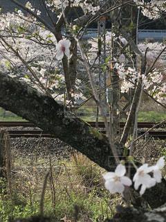 花,桜,山中渓