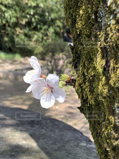 花,桜,熊本