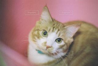 カメラを見ている猫の写真・画像素材[1292885]