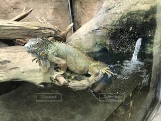岩の上の爬虫類の写真・画像素材[744270]