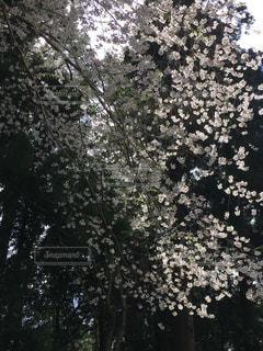桜,塩竈神社,2018年4月