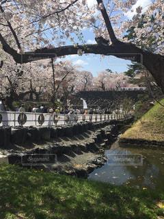 桜,弘前城
