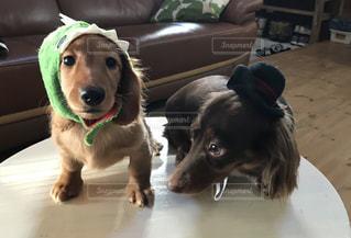 茶色と白犬の写真・画像素材[849465]