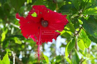 近くに果物の木からぶら下がってアップの写真・画像素材[812442]