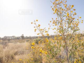 自然,風景,空,花,海外,植物,青空,黄色,撮影,鮮やか,旅行,砂漠,オーストラリア,イエロー,色,yellow