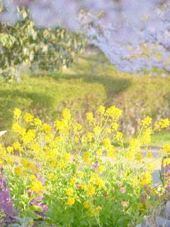 自然,風景,公園,花,春,緑,植物,散歩,黄色,菜の花,鮮やか,イエロー,さんぽ,色,お出かけ,yellow,多彩