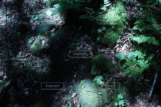 フォレスト内のツリーの写真・画像素材[767416]