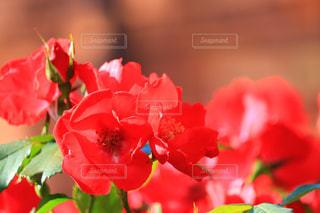 薔薇の写真・画像素材[1369227]