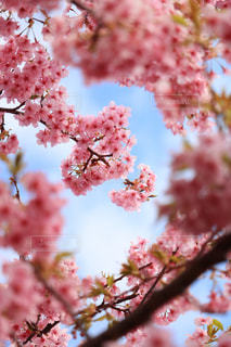 河津桜の写真・画像素材[1839427]