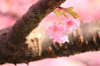 桜の花の写真・画像素材[1839452]