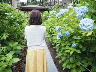 女性,あじさい,紫陽花,梅雨