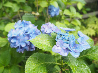 あじさい,紫陽花,梅雨,インスタ映え