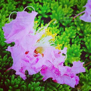 植物の紫色の花の写真・画像素材[1078018]