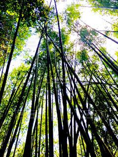 森の大きな木の写真・画像素材[1158215]