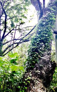 森の大きな木の写真・画像素材[1168481]